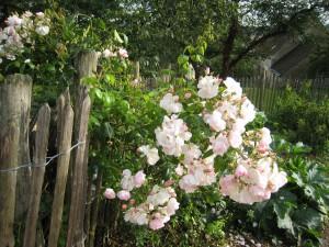 Pourquoi tailler les rosiers et quand amenagermamaison - Quand couper les rosiers ...
