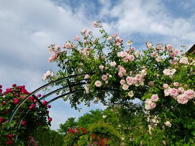 treillage rose