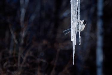 mésange sur stalactite