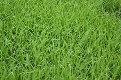 herbe de la pelouse